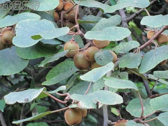 白马山猕猴桃