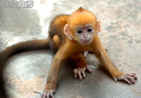 国家一级保护动物黑叶猴