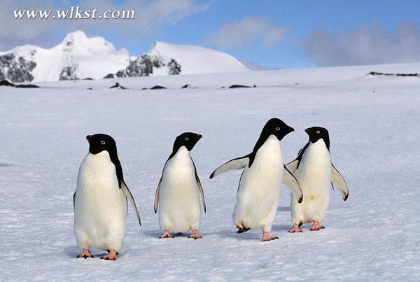 ·南极极地企鹅   与电影《马达加斯加》同款的6只南极极地