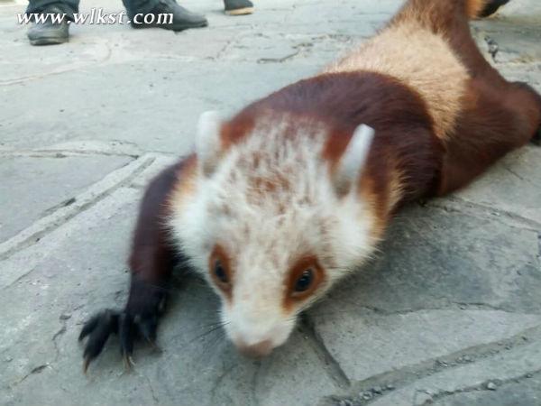 武隆景区珍稀飞鼠受伤 遇爱心工作人员获救助(图)